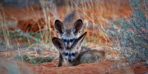 Bat-eared fox kits in Kgalagadi Transfrontier Park, Botswana (© Richard Du Toit/Minden Pictures)