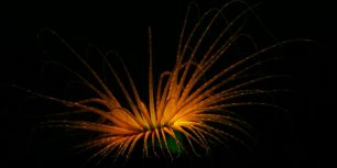 Tube anemone (© Coral Morphologic)