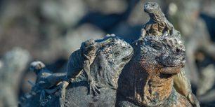 Marine iguanas, Galápagos Islands, Ecuador (© Tui De Roy/Minden Pictures)