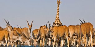 Eland antelope and giraffe at Etosha National Park, Namibia (© David Schultz/Mint Images/SuperStock)
