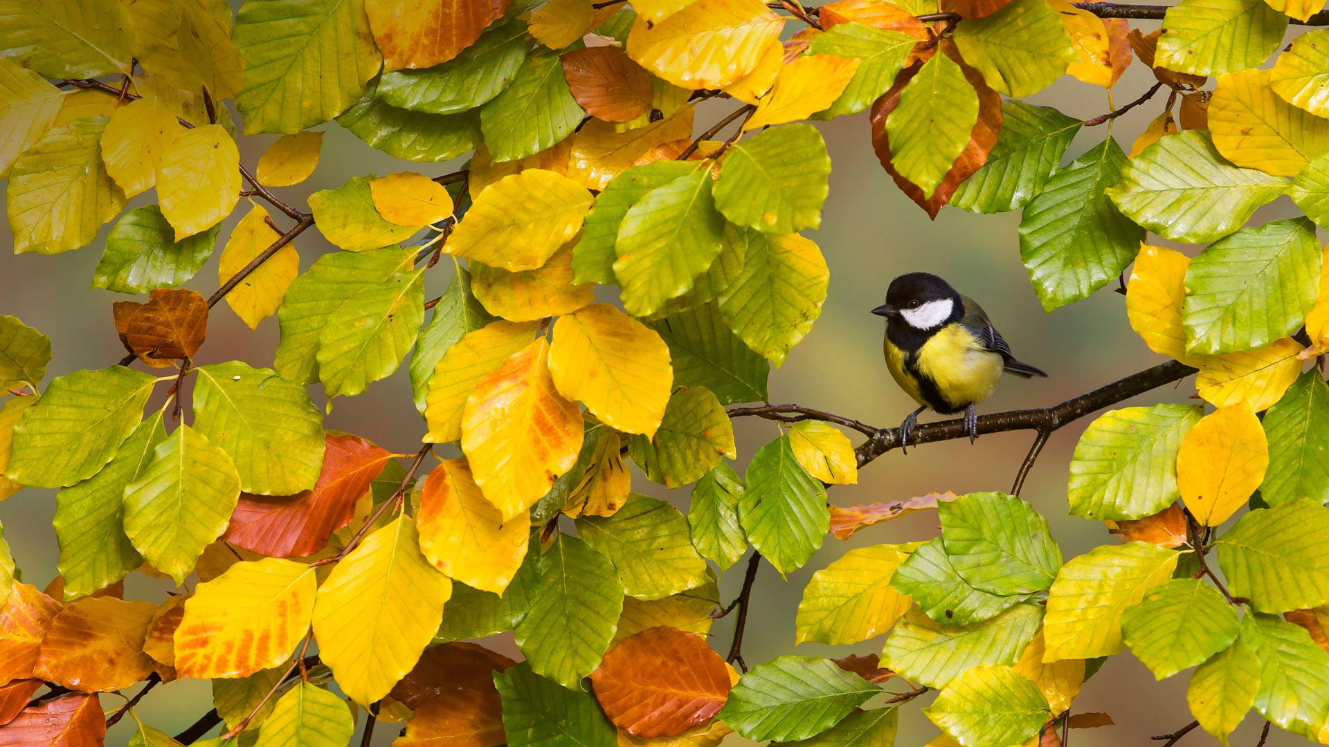 A great tit perched on a branch (© Frederic Desmette/Biosphoto/Minden Pictures)