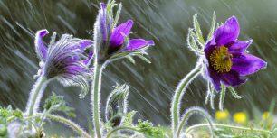 Pulsatilla vulgaris flowers in rain, Lorraine, France (© Michel Poinsignon/Minden Pictures)