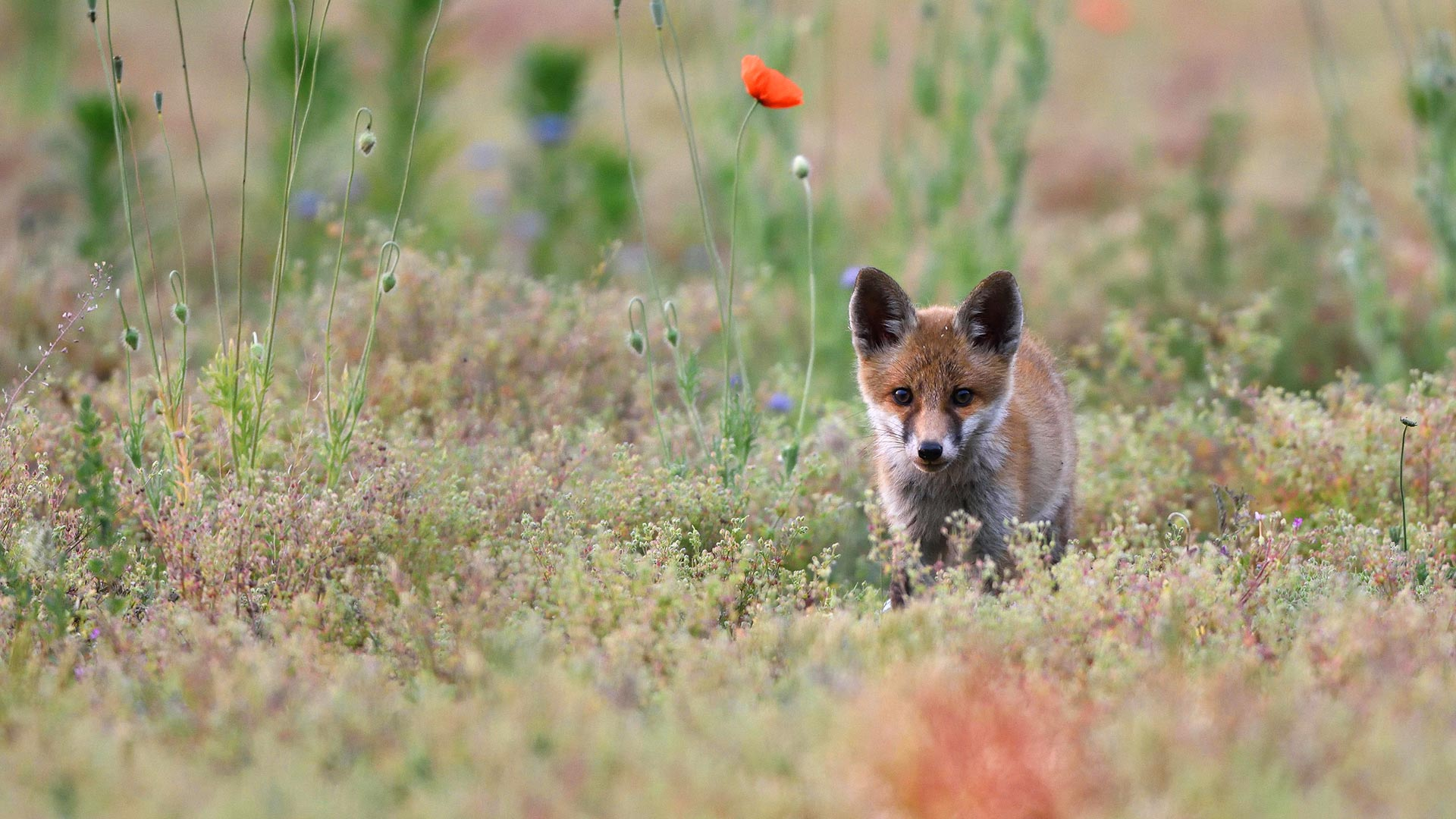 Young red fox with poppies, Lausitz, Saxony, Germany (© Kevin Prönnecke/Alamy)
