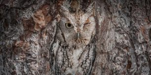 An eastern screech owl in the Okefenokee National Wildlife Refuge, Georgia (© Media Drum World/Aurora Photos)