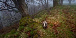 European badger foraging in the Black Forest, Germany (© Klaus Echle/Minden Pictures)