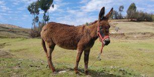 Donkey in Paucara, Acobamba, Huancavelica, Peru (© Jose Arnao/Andina Digital)
