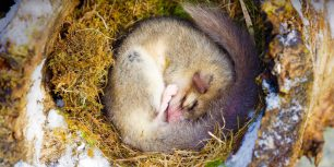Dormouse sleeping, Alsace, France (© M. Watsonantheo/SuperStock)