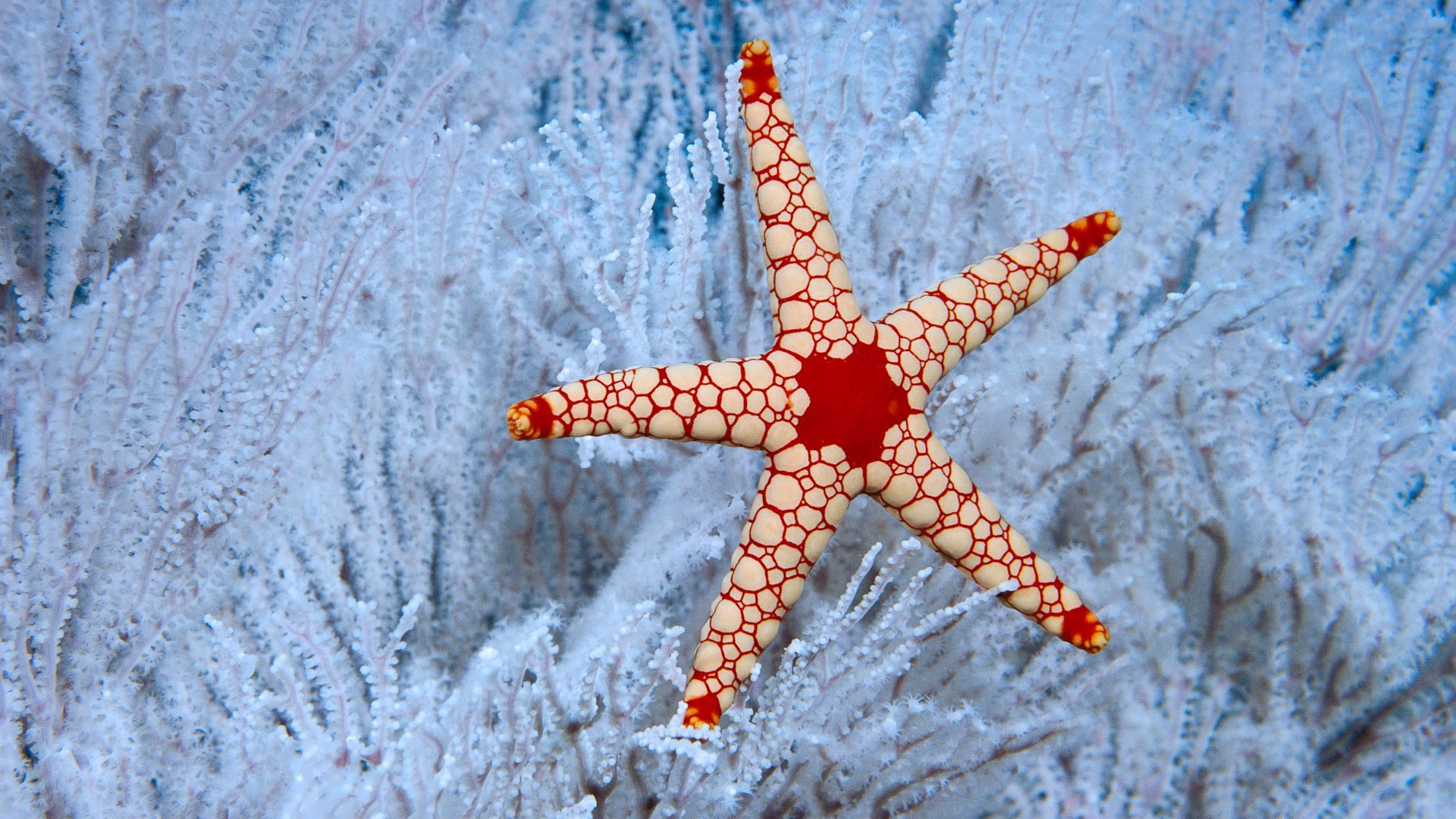 A peppermint sea star in soft coral near the Seychelles (© Norbert Wu/Minden Pictures)