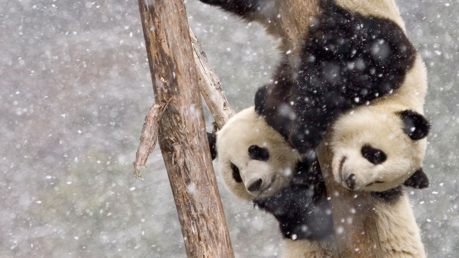 Giant pandas in Sichuan, China (© Juan Carlos Munoz/Minden Pictures)