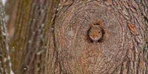 A grey squirrel peeking out of its den (© Darlyne A. Murawski/Getty Images)