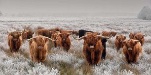 Herd of Highland cattle in winter (© René van den Berg/Alamy)