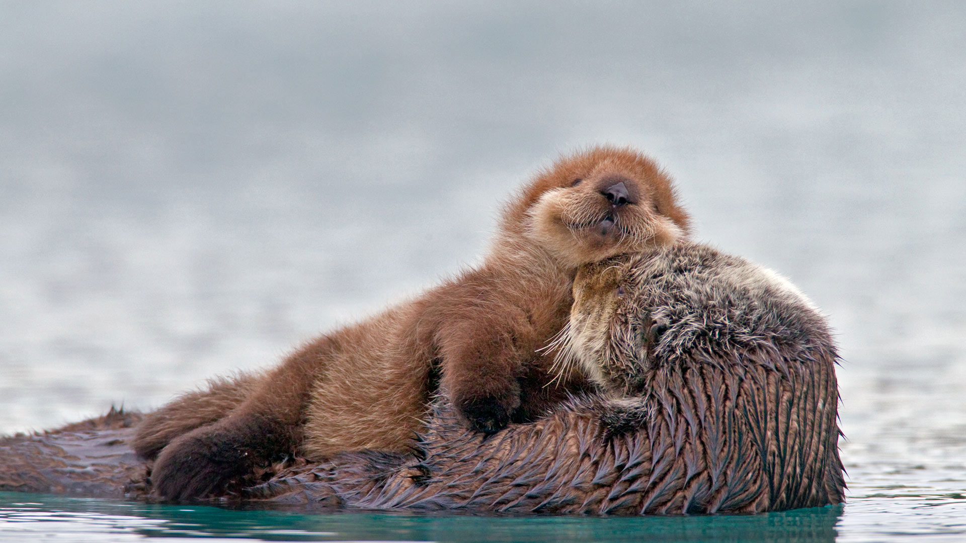 Sea otter with pup, Prince William Sound, Alaska (© AlaskaStock/Masterfile)