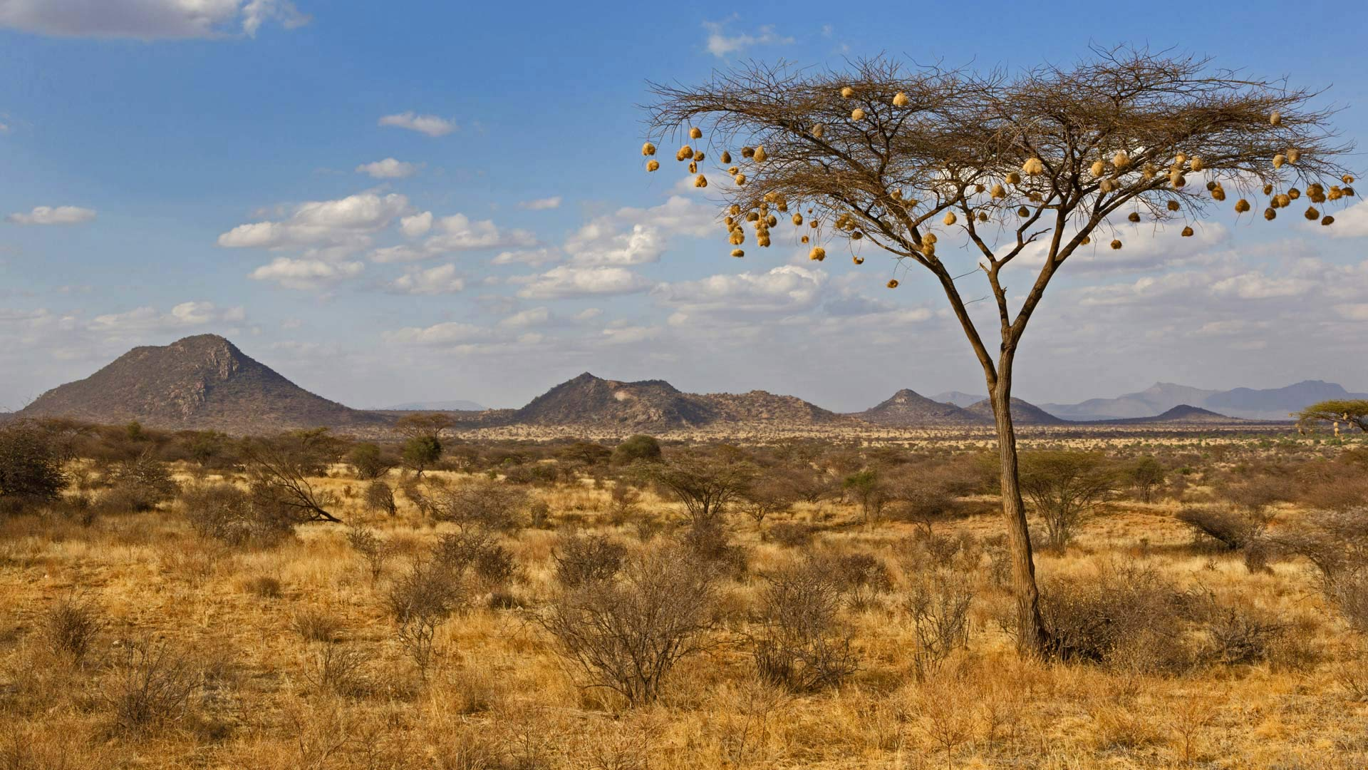 Weaverbird nests hanging from acacia tree in Samburu National Reserve, Kenya (© Bernd Rohrschneider/Minden Pictures)