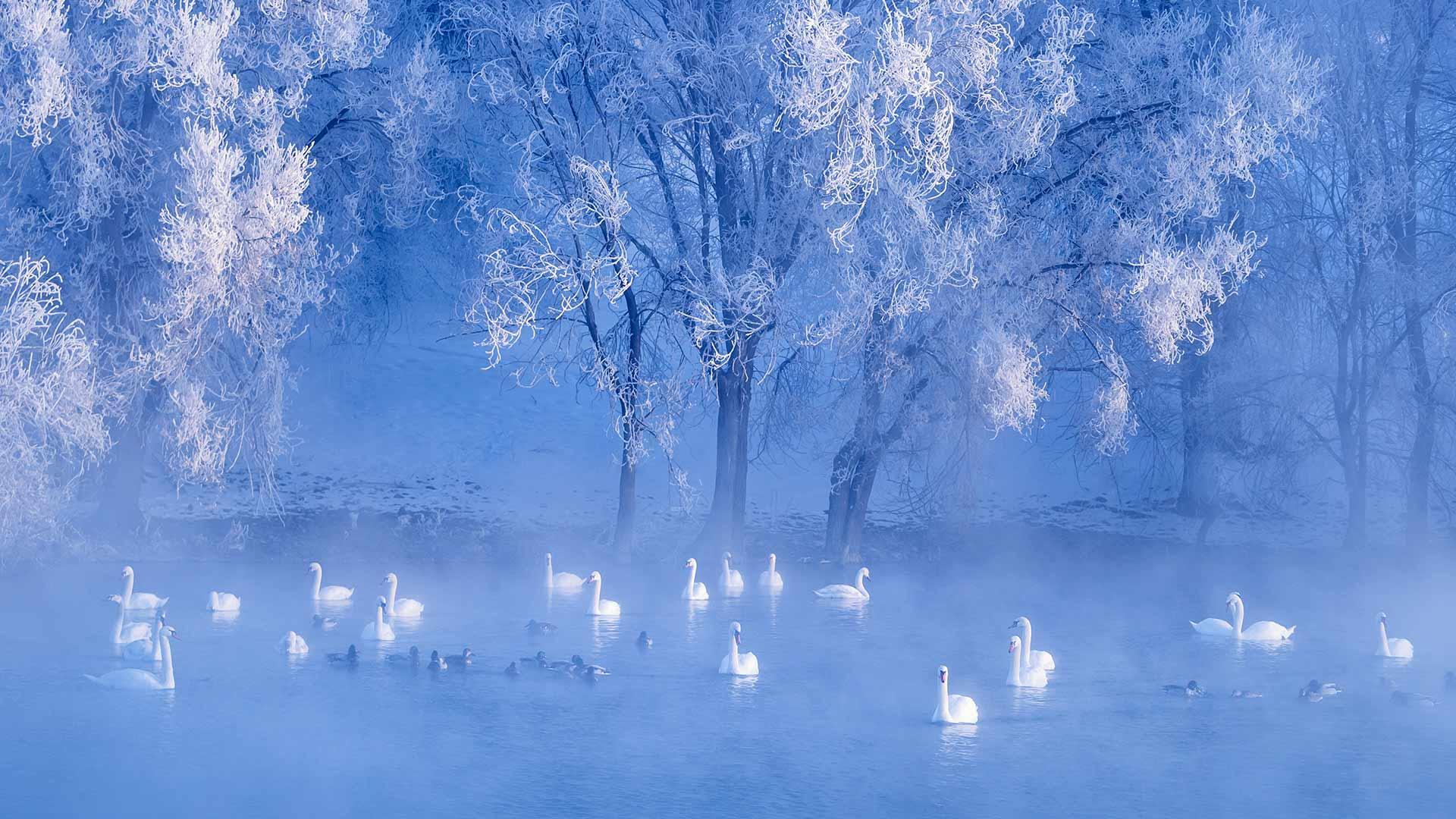 Swans on lake, Yili, Xinjiang, China (© Sino Images/Getty Images)