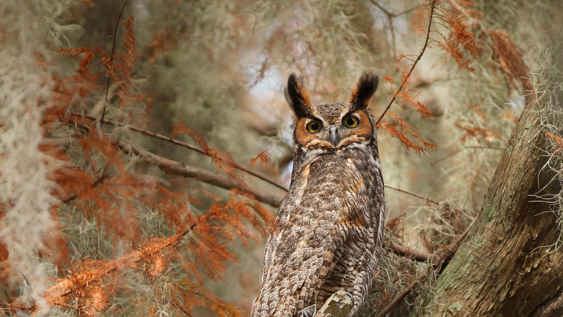Great horned owl near Lake Tohopekaliga, south of St. Cloud, Florida (© Matthew Studebaker/Minden Pictures)