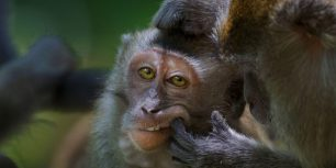 Crab-eating macaque in Bako National Park, Malaysia (© Anup Shah/Minden Pictures)