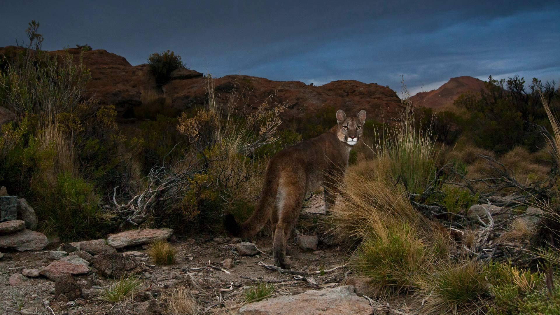 Cougar in the Andes of northwestern Argentina (© Sebastian Kennerknecht/Minden Pictures)