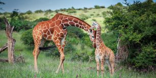 Reticulated giraffe nuzzles her calf in Lewa Wildlife Conservancy, Kenya (© Sean Crane/Minden Pictures)