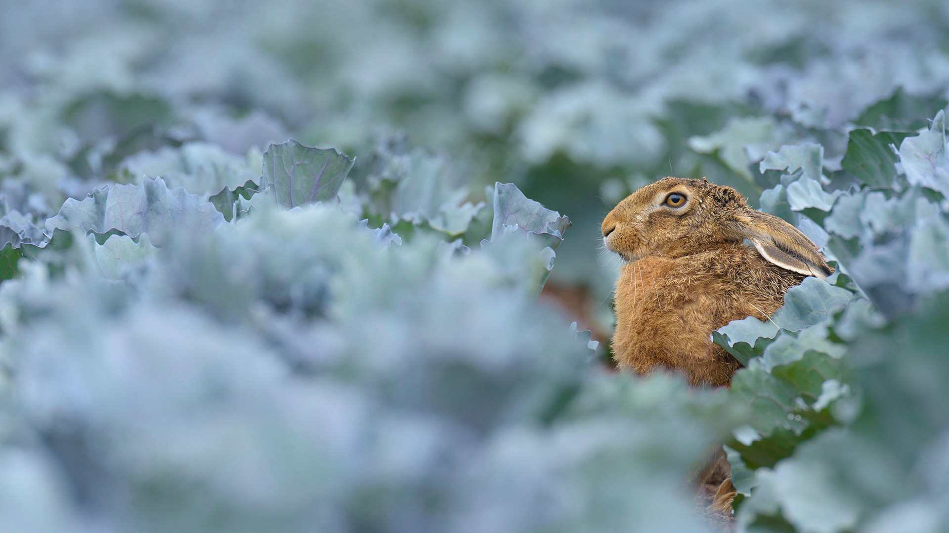 European brown hare (Lepus europaeus) in red cabbage field, Hessen, Germany (© Radius Images/Alamy Stock Photo)