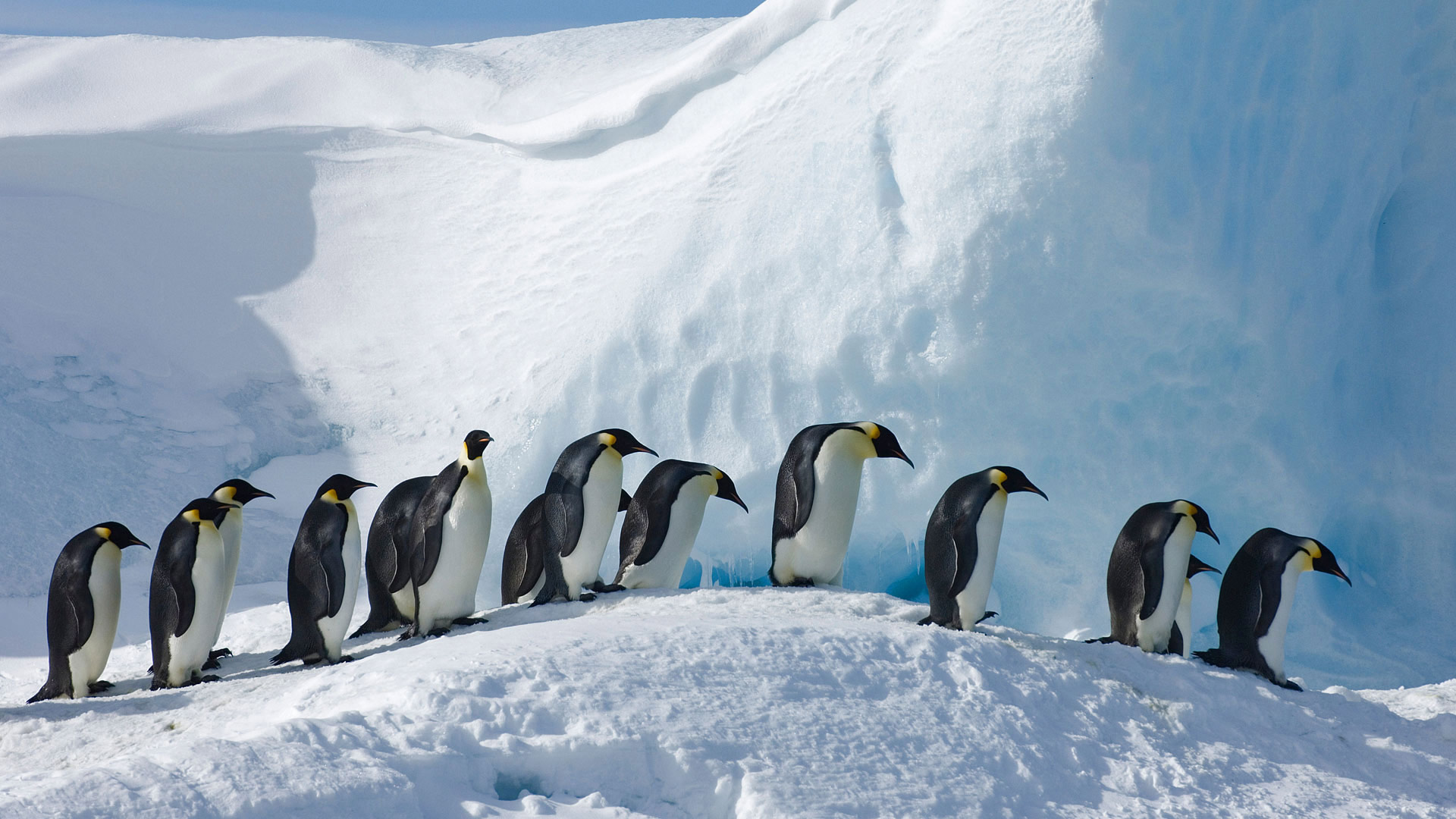 Emperor penguins on Snow Hill Island, Antarctica (© David Tipling Photo Library/Alamy)