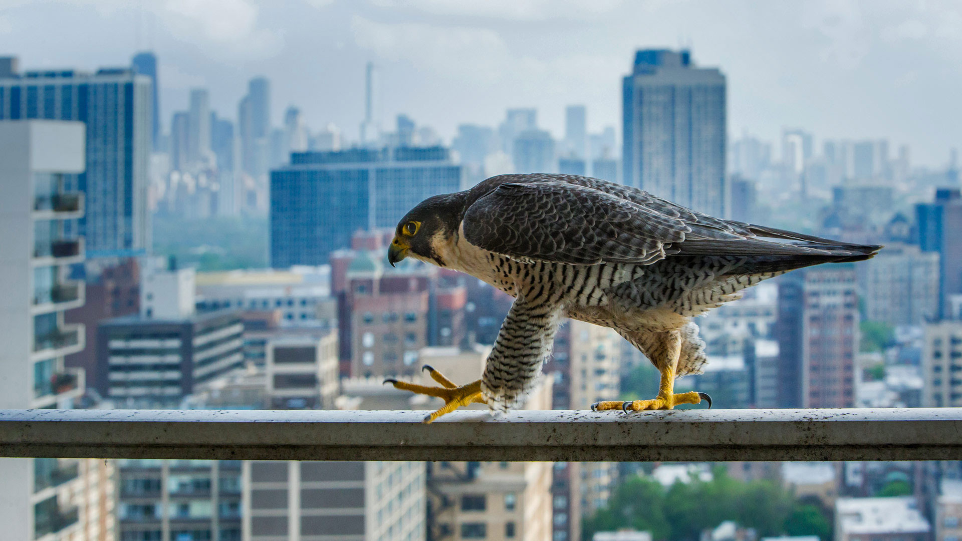 A peregrine falcon surveys the concrete canyons of Chicago (© Luke Massey/Minden Pictures)