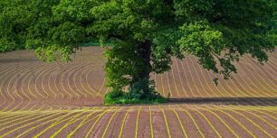 English oak tree in a cultivated field in Monmouthshire, Wales (© Phil Savoie/Minden Pictures)