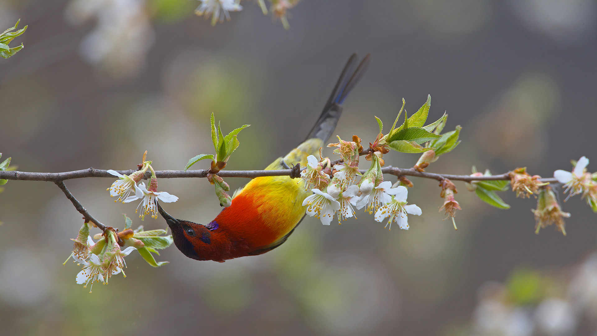 Mrs. Gould's sunbird male, Yunnan Province, China (© Dong Lei/Minden Pictures)