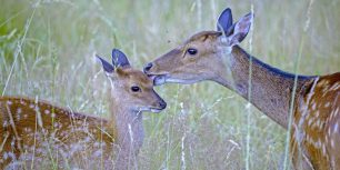 Sika deer with fawn, Haute Saone, France (© Morales/age fotostock)