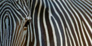 Close-up view of an endangered Grévy's zebra (© Edwin Giesbers/Getty Images)