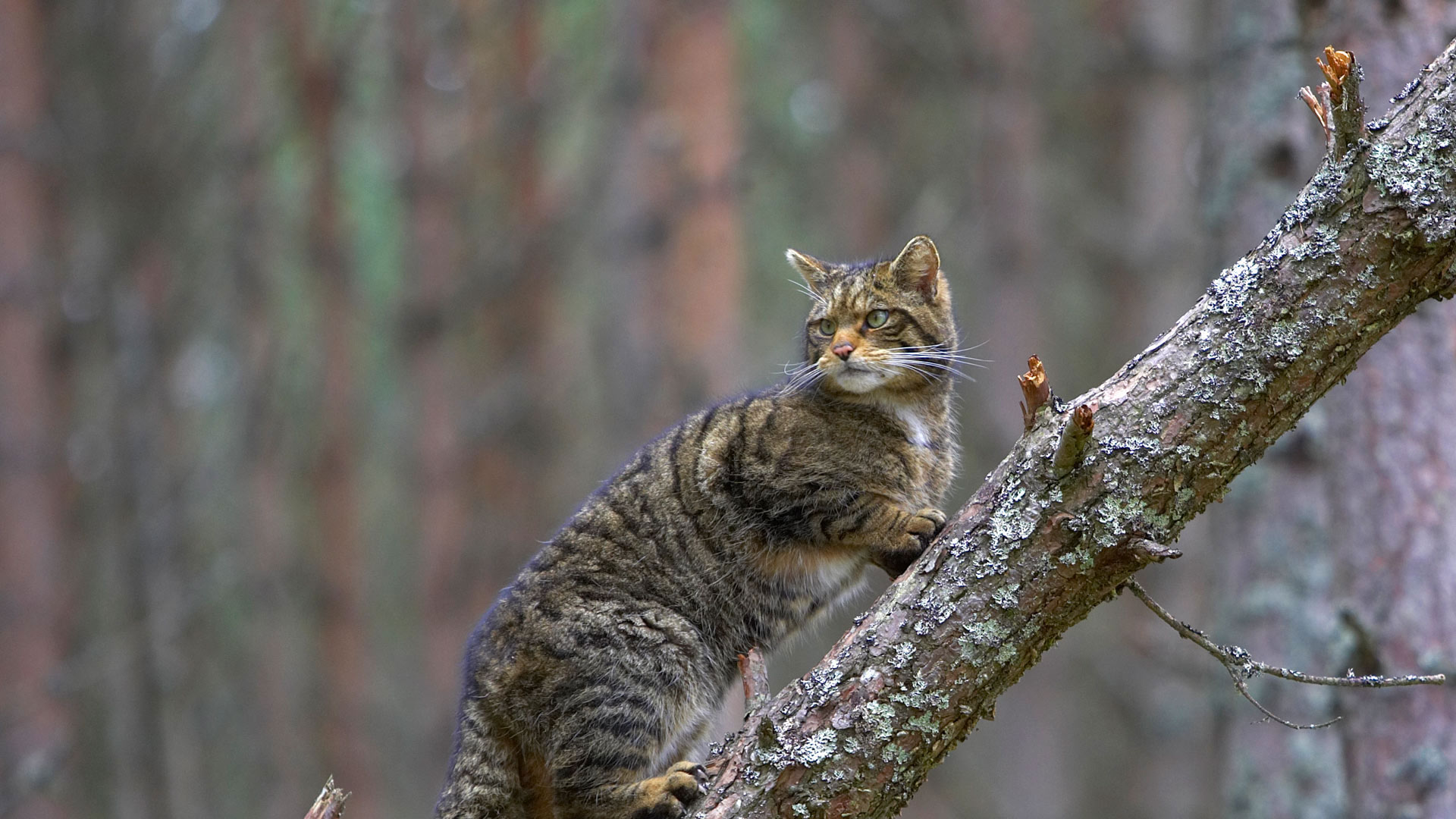A Scottish wildcat in Cairngorms National Park, Scotland (© Pete Cairns/Minden Pictures)