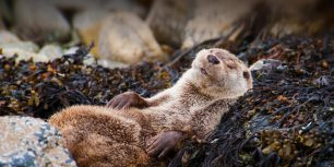 Eurasian otter in Shetland, Scotland (© Scotland: The Big Picture/Minden Pictures)