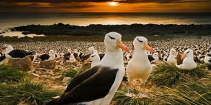 Black-browed albatrosses in the Falkland Islands (© Cultura RM/Alamy)