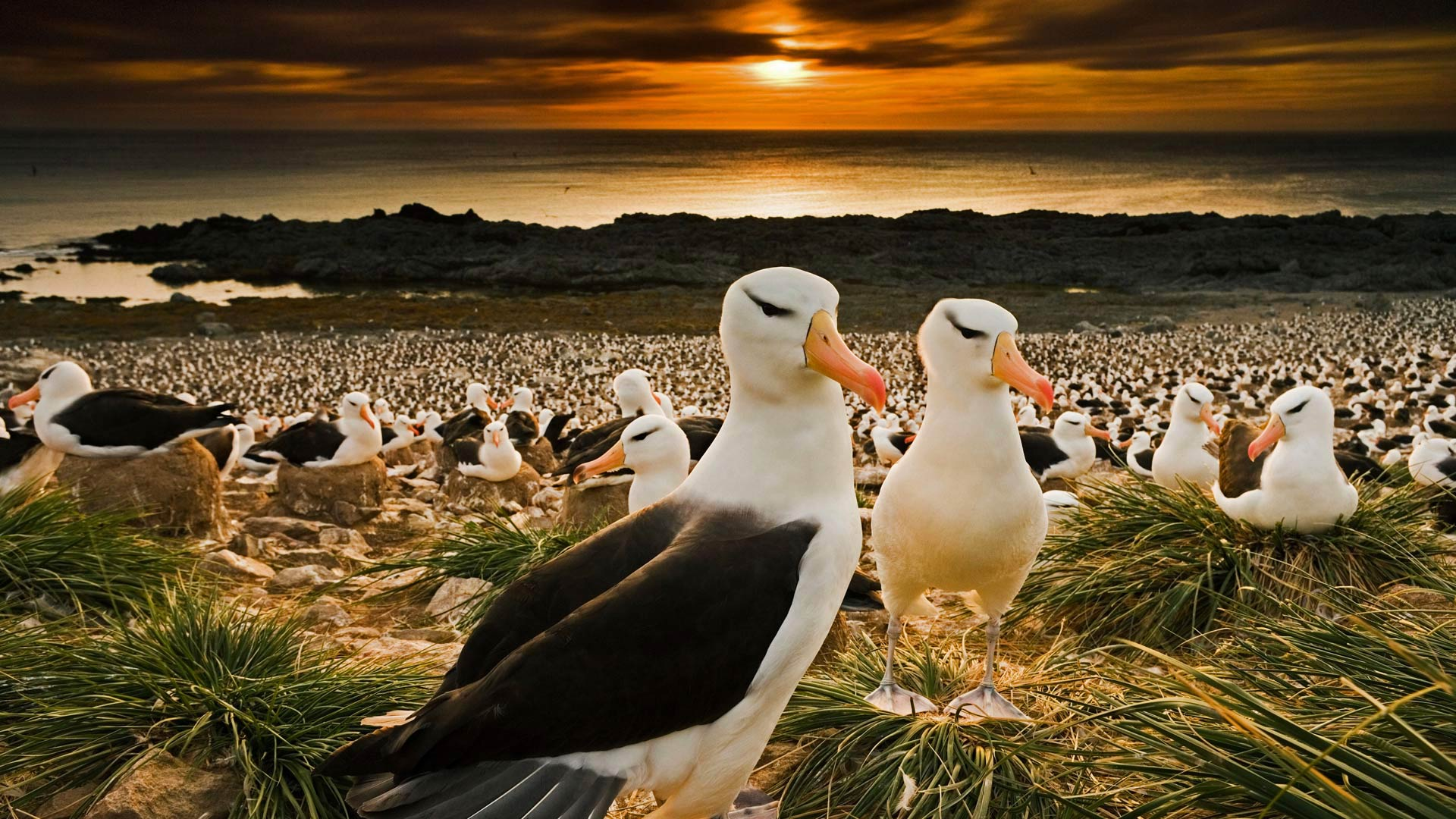 Black-browed albatrosses in the Falkland Islands (© Cultura RM/Alamy)