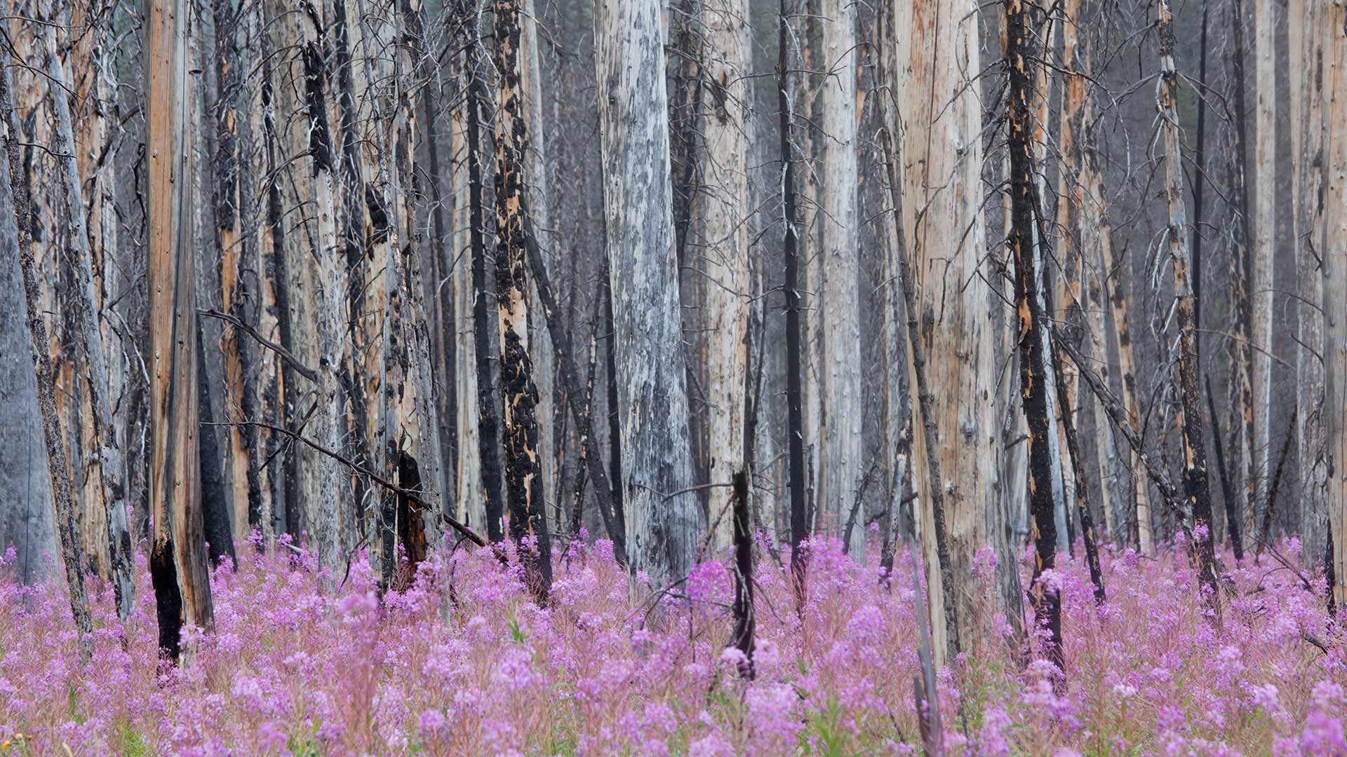 Burnt forest with fireweed in Banff National Park, Alberta, Canada (© ImagineGolf/Getty Images)