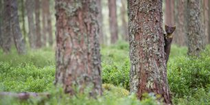 A pine marten in Cairngorms National Park, Scotland (© SCOTLAND: The Big Picture/Minden Pictures)