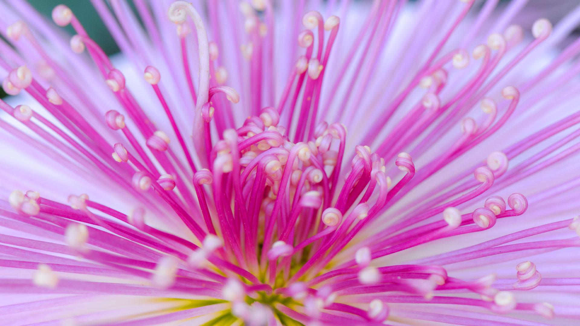 Kudamono-Giku, traditional chrysanthemum of Japan (© I love Photo and Apple./Getty images)