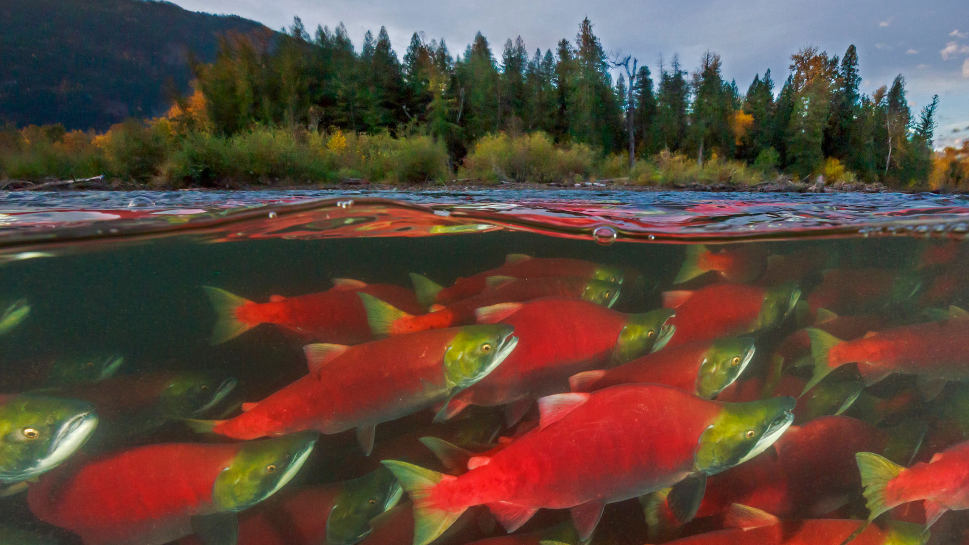 Sockeye salmon spawn in the Adams River in British Columbia, Canada (© Yva Momatiuk and John Eastcott/Minden Pictures)