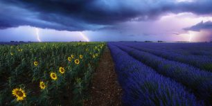 Lavender and sunflower fields under a stormy sky in Provence, France (© beboy/Shutterstock)