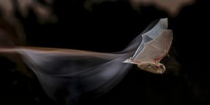 Common pipistrelle bat (© Mario Cea Sanchez/Minden Pictures)