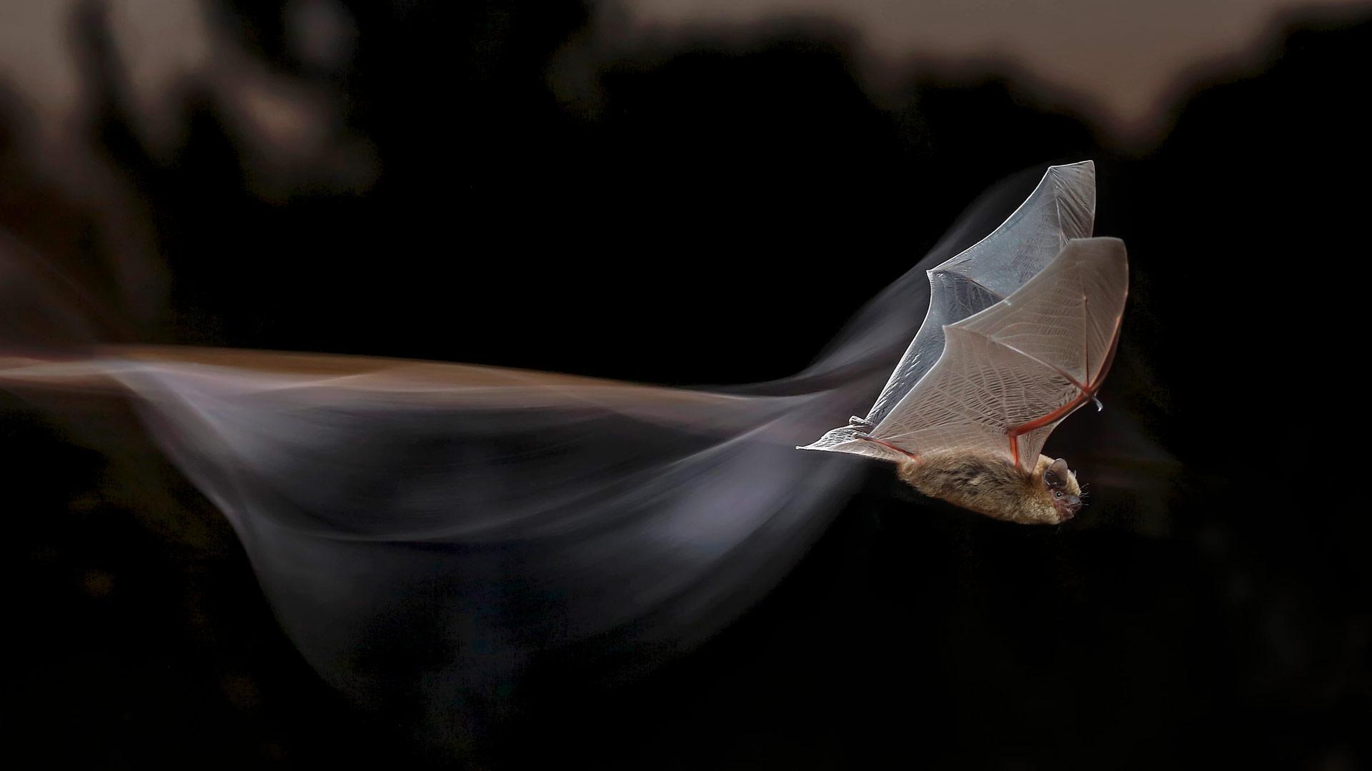 Common pipistrelle bat (© Mario Cea Sanchez/Minden Pictures)