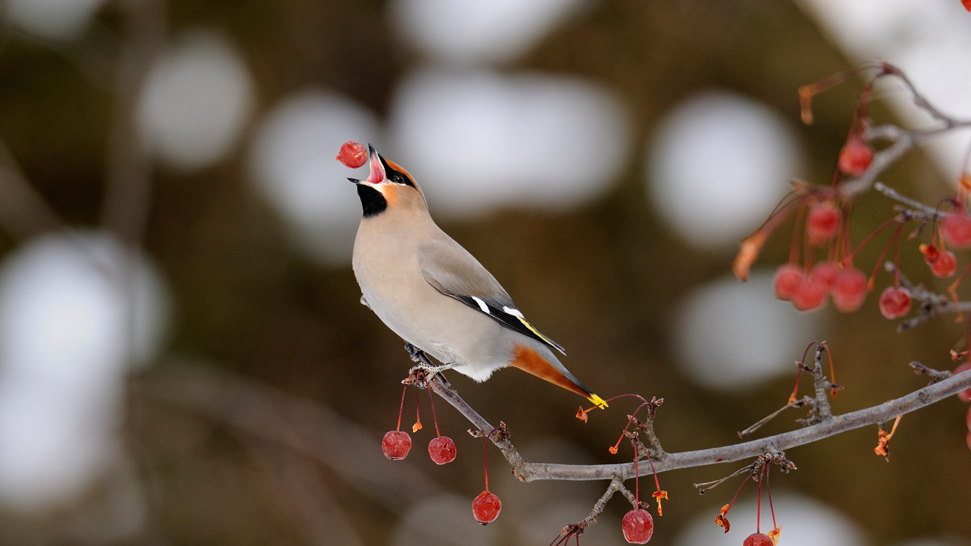 Bohemian waxwing feeding on crab apples, Sudbury, Ontario, Canada (© Don Johnston/Getty Images)