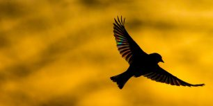 A greenfinch flying at dawn in Monmouthshire, Wales (© Phil Savoie/Minden Pictures)