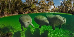 Manatees in Blue Spring State Park, Florida (© Paul Nicklen/Getty Images)