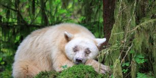 A sleeping Kermode bear in British Columbia, Canada (© John E Marriott/SuperStock)