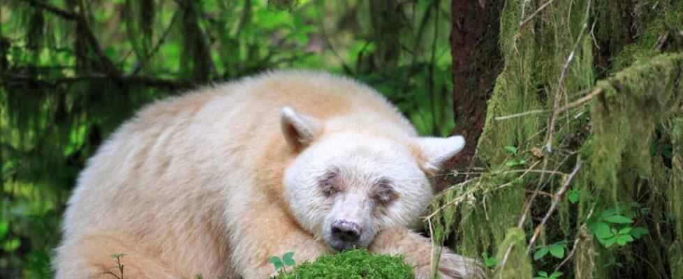 A sleeping Kermode bear in British Columbia, Canada (© John E Marriott/SuperStock)