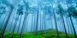 Pine forest in the Himalaya Range, Almora, Ranikhet, India (© ImagesofIndia/Shutterstock)