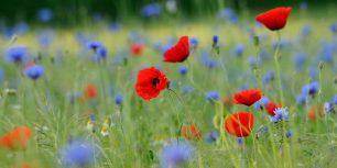 Meadow with common poppies and cornflowers, North Rhine-Westphalia, Germany (© imageBROKER/Alamy)