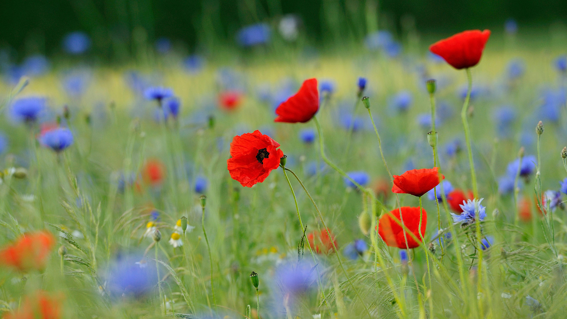 Meadow with common poppies and cornflowers, North Rhine-Westphalia, Germany (© imageBROKER/Alamy)